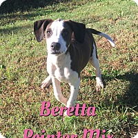Adopt A Pet :: Beretta - Cheney, KS