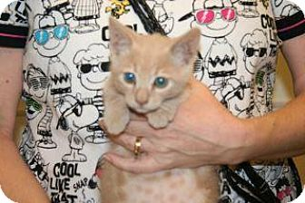 Domestic Shorthair Kitten for adoption in Wildomar, California - Tommy