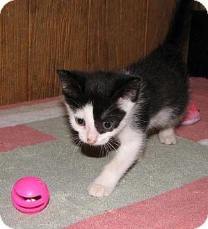 Domestic Shorthair Kitten for adoption in Harrisburg, Pennsylvania - Neala (baby girl)