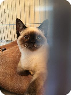 Snowshoe Kitten for adoption in Weatherford, Texas - *ELODIE*