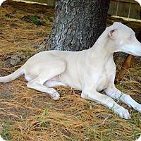 Adopt A Pet :: Sugar - Lafayette, IN
