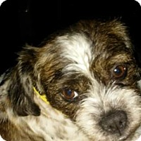 Adopt A Pet :: Sophie Grace - Akron, OH
