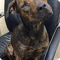 Adopt A Pet :: Lydia - Liberty Center, OH
