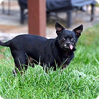 Chihuahua Mix Dog for adoption in Rockville, Maryland - Casey
