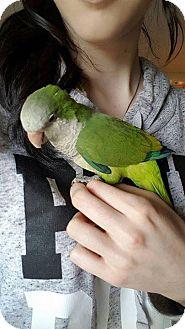 Parakeet - Quaker for adoption in Pasco, Washington - Fidget