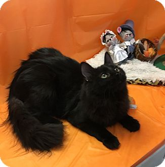 Persian Cat for adoption in Butner, North Carolina - Snickers