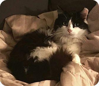 Domestic Longhair Cat for adoption in Toledo, Ohio - Trooper