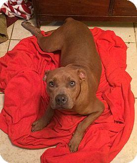 Staffordshire Bull Terrier Mix Dog for adoption in Acworth, Georgia - Walnut