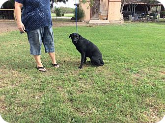 Labrador Retriever Mix Dog for adoption in Brownsville, Texas - Cookie