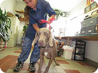 Weimaraner Dog for adoption in Attica, New York - Ledge