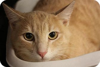Domestic Shorthair Cat for adoption in Chino, California - Mikey