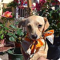 Adopt A Pet :: Chapis - San Diego, CA