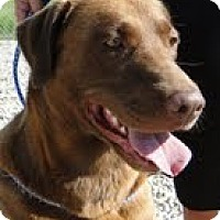 Adopt A Pet :: Laurel Grace - Lewisville, IN