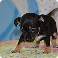 Adopt A Pet :: Moe - Tumwater, WA