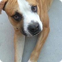 Adopt A Pet :: Pitti Boy. COURTESY POST - Phoenix, AZ