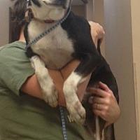 Husky/Labrador Retriever Mix Dog for adoption in Baton Rouge, Louisiana - Buster