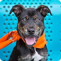 Adopt A Pet :: Steven - Nashville, TN