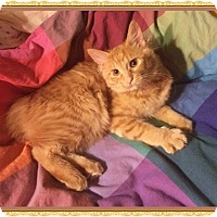 Adopt A Pet :: Orangina - Mt. Prospect, IL