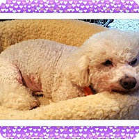 Bichon Frise Dog for adoption in Tulsa, Oklahoma - Maddy - MD