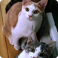 Adopt A Pet :: Milkdud - St. Paul, MN