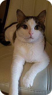 Domestic Shorthair Cat for adoption in Grand Blanc, Michigan - Gilbert