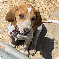 Adopt A Pet :: Doc $250 - Seneca, SC