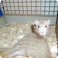 Rat for adoption in Welland, Ontario - Jubliee