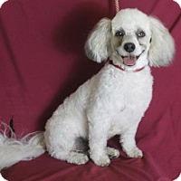 Adopt A Pet :: Sargent Teddy - Palo Alto, CA