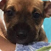 Adopt A Pet :: Pow - Barnegat, NJ