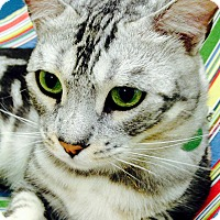 Adopt A Pet :: Tiny Tim - Novato, CA