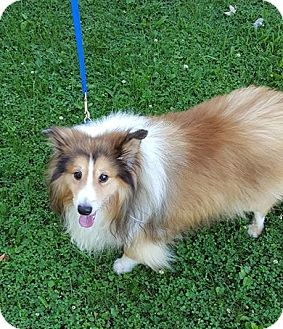 Sheltie, Shetland Sheepdog Dog for adoption in Pittsburgh, Pennsylvania - BARON - Adopted