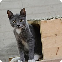 Domestic Shorthair Kitten for adoption in Brooklyn, New York - Pineapple, Melon & Grape