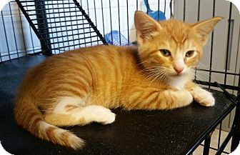 Domestic Shorthair Kitten for adoption in Freeport, New York - Foy