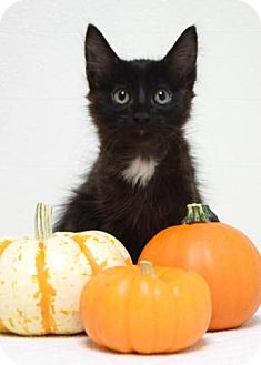 Domestic Mediumhair Kitten for adoption in Dublin, California - Charly