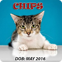 Adopt A Pet :: Chips - Chandler, AZ