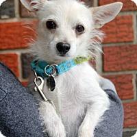 Adopt A Pet :: Mia - Harrison, NY