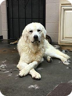 Kuvasz/Great Pyrenees Mix Dog for adoption in Phoenix, Arizona - Lincoln