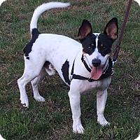Adopt A Pet :: Banjo - Norwalk, CT