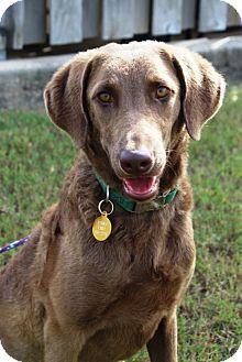 Chesapeake Bay Retriever Dog for adoption in Denton, Texas - Malibu