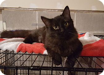 Domestic Longhair Cat for adoption in Rochester, Minnesota - Owl