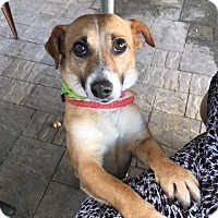 Jack Russell Terrier/Corgi Mix Dog for adoption in San Diego, California - Roxie