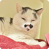 Adopt A Pet :: Simon - Salisbury, MA