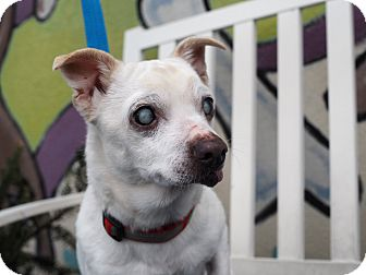 Chihuahua Mix Dog for adoption in Whitehall, Pennsylvania - Bubbie