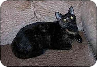 Domestic Shorthair Cat for adoption in Stuarts Draft, Virginia - Polly