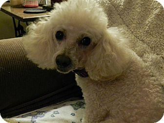 Poodle (Miniature) Dog for adoption in Leeds, Alabama - Tucker