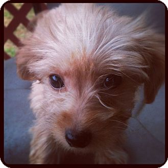 Yorkie, Yorkshire Terrier/Poodle (Miniature) Mix Puppy for adoption in Louisville, Kentucky - Ethan