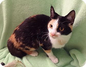 Calico Kitten for adoption in Bentonville, Arkansas - Bonnie