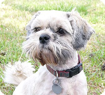Lhasa Apso Dog for adoption in Mocksville, North Carolina - Lucy Loo