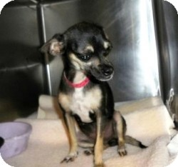 Chihuahua Mix Dog for adoption in Mesa, Arizona - Krista