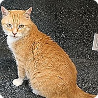 Domestic Shorthair Cat for adoption in New York, New York - Adeley (Westhampton)